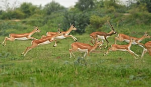 Antelopes run through a field at Kanjari village on the outskirts of Ahmedabad, India