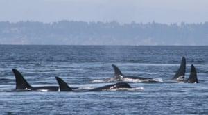 Southern resident killer whales swim off the coast of San Juan Island, Washington, US