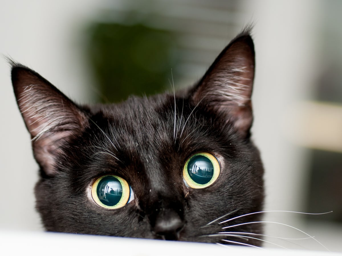 Adopt A Black Cat Here S How To Make Them Look Great On Instagram Pets The Guardian