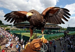 Wimbledon, UK. Rufus the Hawk returns to the All England Lawn Tennis Club to keep pigeons away, on day three of the Wimbledon Championships