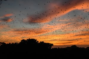 Straw-coloured fruit bats migrating in Kasanka National Park, central province Zambia, November 2020.