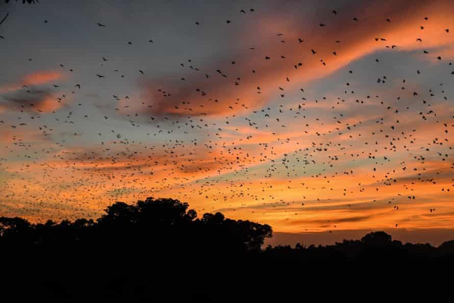 Straw-coloured fruit bats migrating in Kasanka National Park, central province Zambia, November 2020.