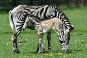 A Grévy's zebra and new-born foal at Whipsnake Park in the UK