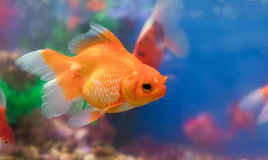 Goldfish can live for up to 40 years.