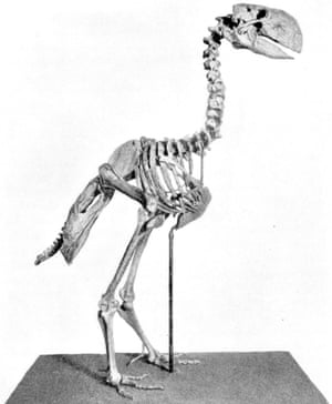 A mounted skeleton of Gastornis showing the massive beak and hind limbs.