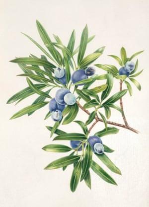 Plum Pine by Angela Lober, watercolour on vellum.