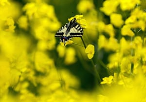 A common yellow swallowtail rests on a rapeseed flower near Cegléd, Hungary