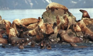 Sea lions get oil on them as they swim in the water and sit on the rock at Prince William Sound, Alaska, April, 1989.