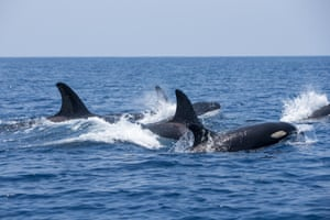 Although the large male in the pod, with a dorsal two metres high, appeared to be leading the group, evidence suggests such attacks are controlled by the dominant females who pass on their hunting skills learned from their mothers.
