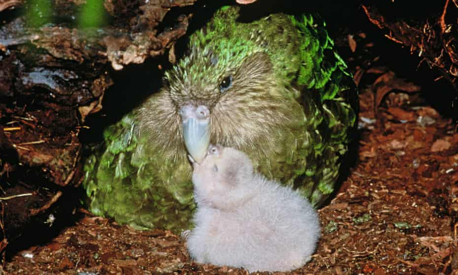 There are only 147 adult kākāpō alive today, but after a record breeding season the fate of the parrot is turning around.