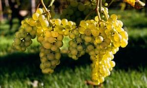 Grapes at Lamberhurst Vineyards in Kent