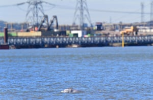 A beluga whale swimming in the Thames near Gravesend, Kent