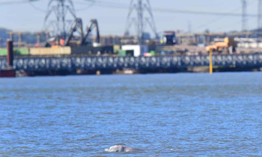 A beluga whale swimming in the Thames near Gravesend, Kent, in 2018.