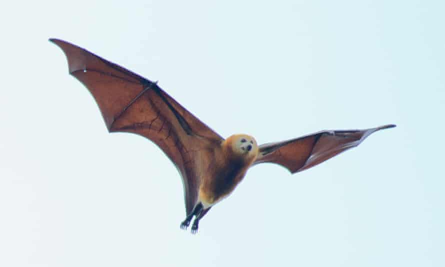 The Greater Mascarene flying fox
