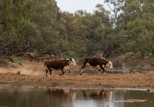 Evelyn Downs cattle. Photograph: Kelly Barnes/The Guardian