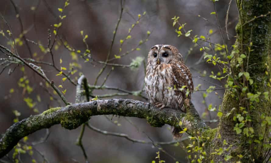 A tawny owl photographed in Galloway Forest Park, Scotland, in May 2021.