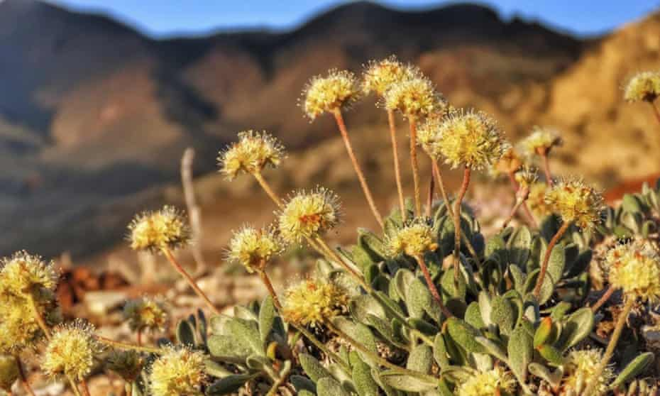Tiehm's buckwheat in the Silver Peak Range. Conservations have been working to protect the unique flowering plant from the proposed mining operation.