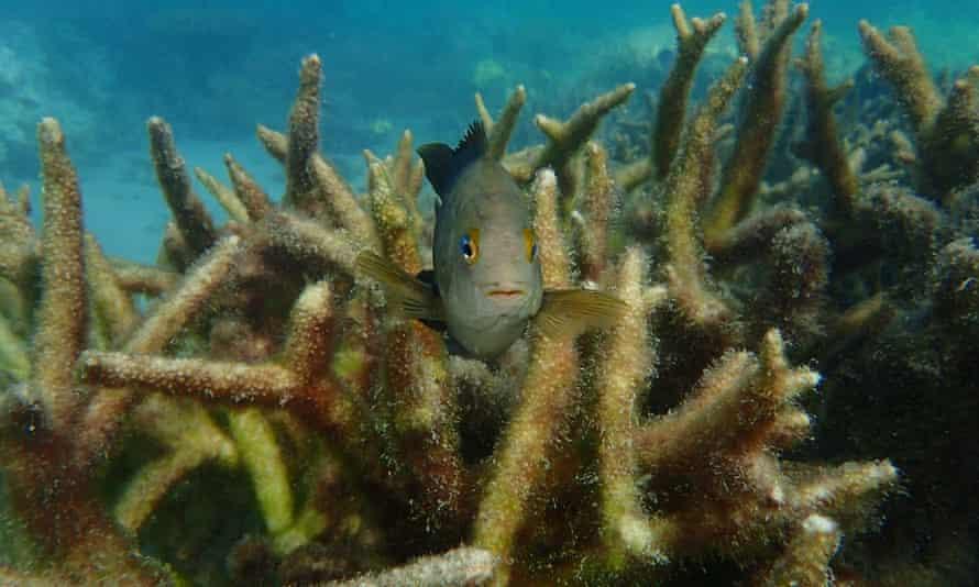 Coral bleaching at Loomis Reef, off Lizard Island, Great Barrier Reef, Australia.
