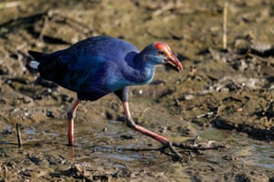 A grey-headed swamphen searches for food in Colombo, Sri Lanka