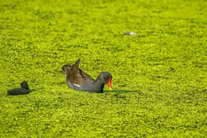 A moorhen and its chick swim in a pond covered in green algae in Cannizaro Park, London