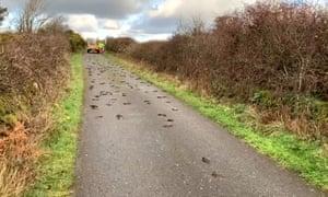 Dead starlings on a road