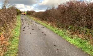 Dead starlings on the road