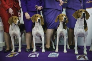 Treeing Walker Coonhounds