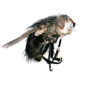 Tachinid fly (Archytas sp.)