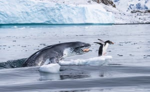 A gentoo penguin – the fastest underwater swimmer of all penguins – flees for its life as a leopard seal bursts out of the water