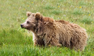 """A Himalayan brown bear in Pakistan. DNA analysis of remains of purported """"Yetis"""" have shown that the mysterious creature would be a bear from the high mountains of Asia."""