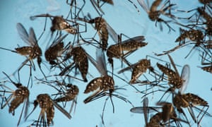 Aedes aegypti mosquitoes, responsible for transmitting Zika.