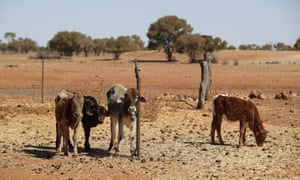 calves in a drought-stricken paddock