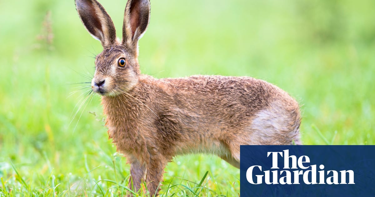 New 'viral cocktail' killing hares in UK and Ireland, scientist warns