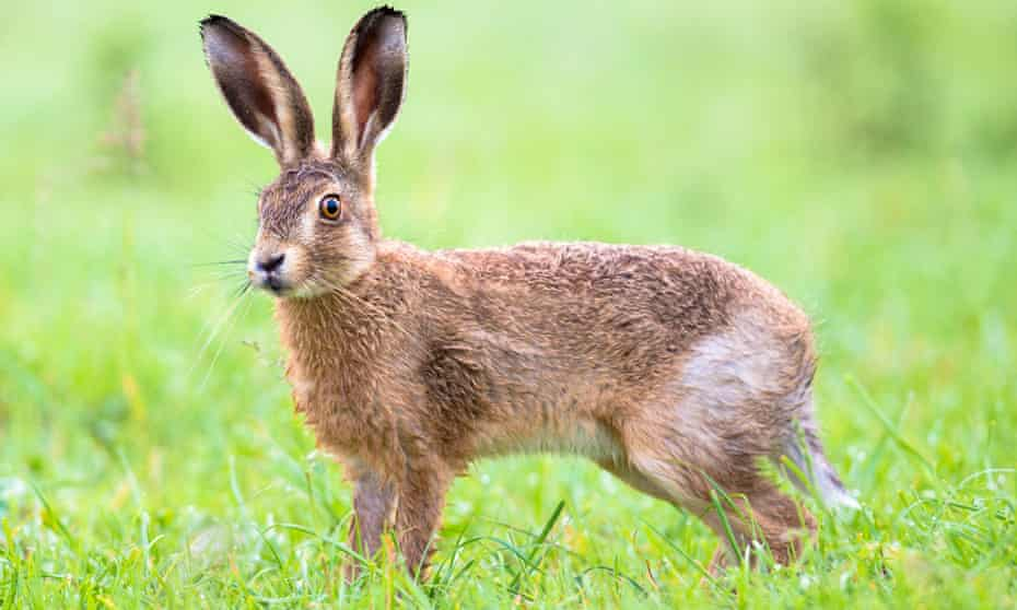 Brown hare in Somerset