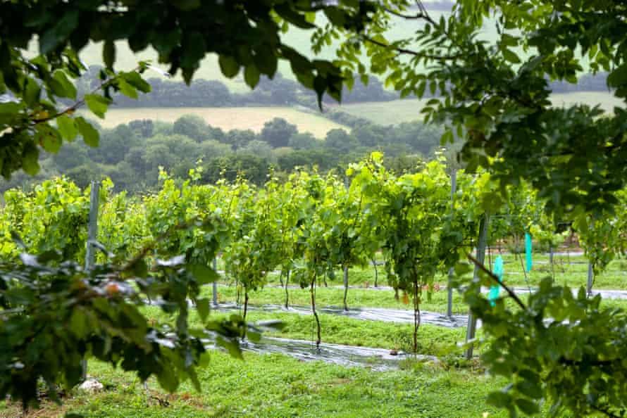 Rows of vines at Camel Valley vineyard near Bodmin, Cornwall, UK.