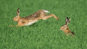 Two hares in a field in Hanover, northern Germany, on 14 May