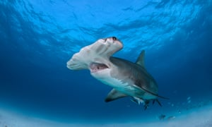 Hammerhead sharks may be seen in UK waters as the planet warms.