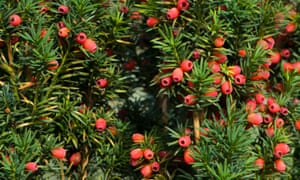 Close-up, full frame image of autumn English yew tree with red berries, Taxus baccata