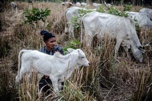 Fulani herdsman tends calf at Kachia grazing serve, Kaduna state.