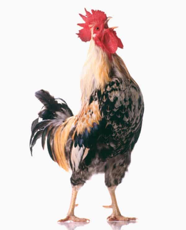 Araucana roosterAraucana Rooster