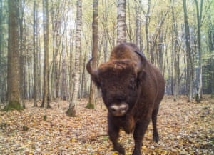 Bison  from Candid Creatures: How Camera Traps Reveal the Mysteries of Nature