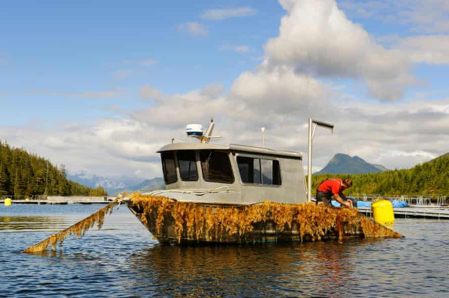A worker harvests sugar kelp grown at an aquaculture farm off Vancouver Island