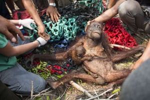 A baby orangutan holds on to her malnourished mother while being rescued in the village of Kuala Satong in West Kalimantan