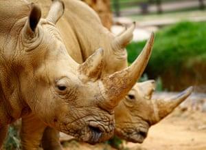 Two endangered white rhino at Joburg zoo in Johannesburg, South Africa