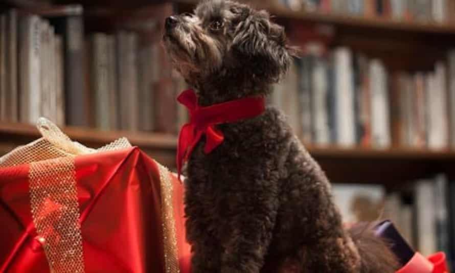 Marlowe, a toy poodle/pomeranian