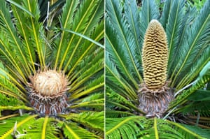 A female cycad (left) and male cycad (right). Two of the plants, Cycas revoluta, a type of primitive tree that dominated the planet 280m years ago, have produced male and female cones outdoors in Britain for what is believed to be the first time in 60 million years, outdoors on the sheltered undercliffs of Ventnor Botanic Garden on the Isle of Wight