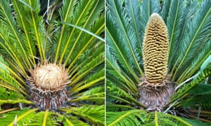 A female (left) and male cycad (right).