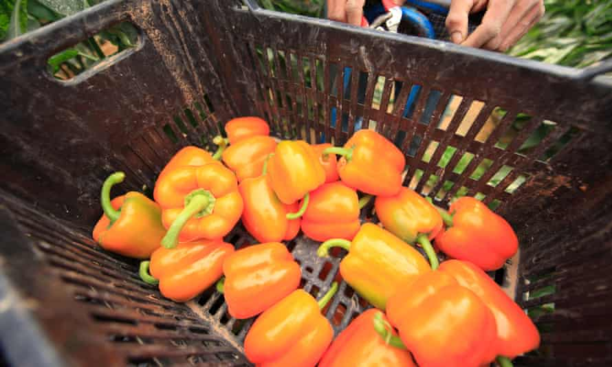 Peppers being picked in an Israeli greenhouse.