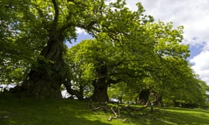 The Spanish Chestnut Avenue at Croft Castle, Herefordshire, an avenue of pollarded sweet chestnuts (Castanea sativa) stretching for 1km to the west of the castle.