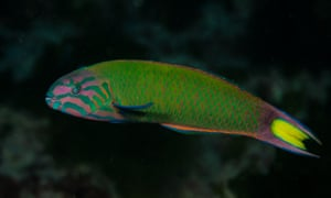 A moon wrasse, one of the 'vagrant' species increasingly found in New Zealand waters.